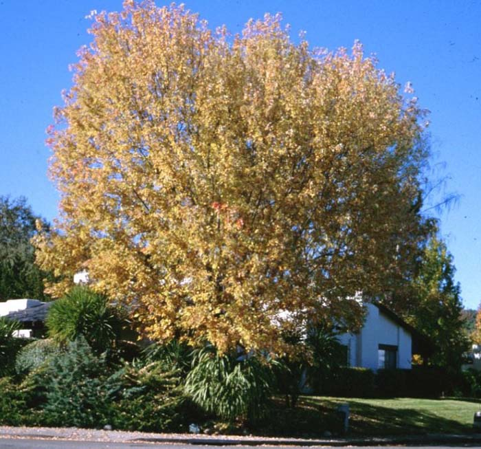Plant photo of: Acer saccharinum
