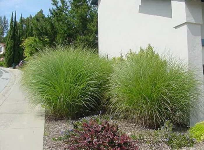 Plant photo of: Miscanthus 'Adagio'