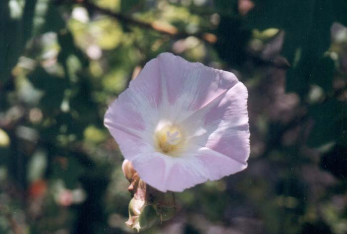 Plant photo of: Calystegia 'Anacapa Pink'
