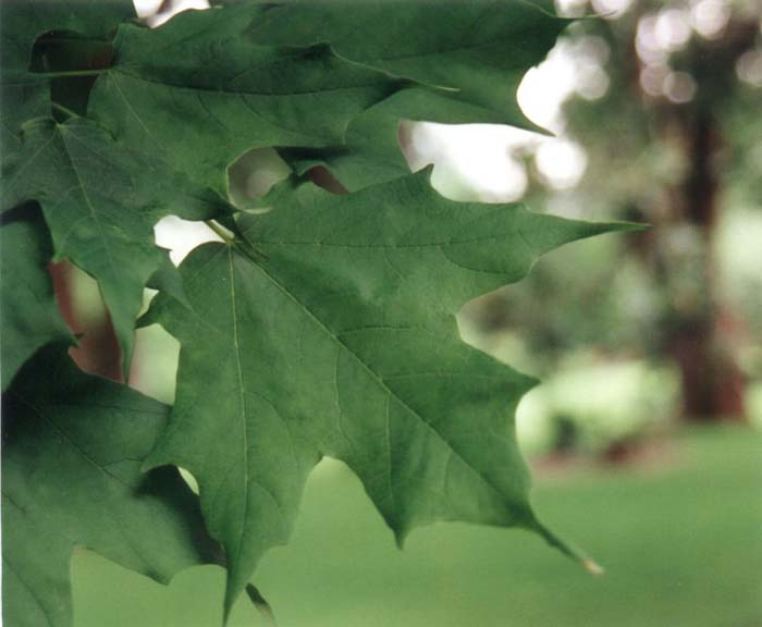 Plant photo of: Acer saccharum