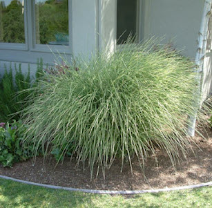 Low Water Ornamental Grasses