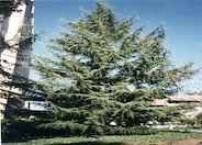 Deodar Cedar, Calif. Christmas Tree