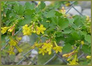 Golden Currant