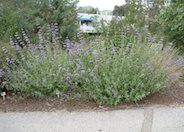 Purple or Gray Sage