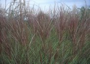 Miscanthus 'Silberspinne'