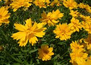 Double Sunburst Coreopsis