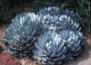 Agave parryix truncate