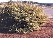 Golden or Gold Edge Elaeagnus