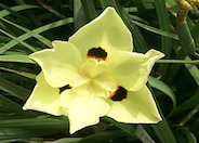 Yellow Moraea, Fortnight Lily