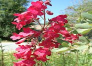Ruby King Penstemon