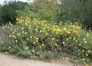 Coast Sunflower, Coast Encelia
