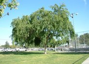 Chinese or Evergreen Elm