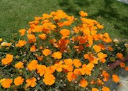 California Poppy, Golden Poppy