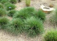 Tufted Hair Grass